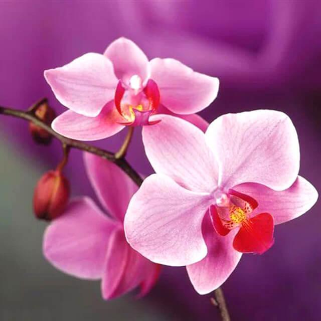 Roze orchidee Diamond Paiting