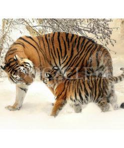 Siberische tijger met jong