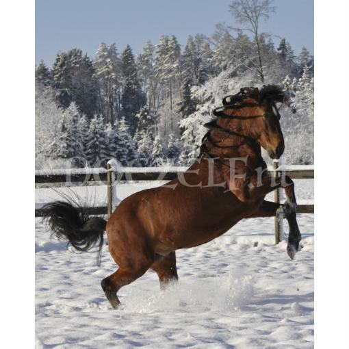 Steigerend paard in Sneeuw