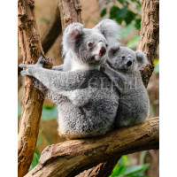 Koala's Diamond Painting